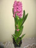 Ogrodnik-amator, opis rośliny, Hiacynt, Hyacinthus, uprawa hiacyntów, hiacynty, opis rośliny, Kwiaty cebulowe