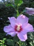 krzewy ogrodowe, krzewy ozdobne, krzewy trudniejsze w uprawie, krzewy li�ciaste, hibiskus