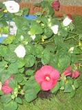 hibiskus bylinowy, zdjęcia roślin, zdjęcia kwiatów, rośliny na literę h