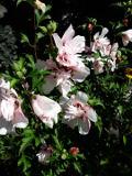 krzewy ogrodowe, ozdobne hibiskus ketmia syryjska