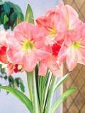 Ogrodnik-amator, opis rośliny, Hippeastrum, zwartnica, Hippeastrum, Potted Amaryllis, uprawa hipeastrum, hodowla zwartnicy, rośliny do domu, rośliny doniczkowe, rośliny pokojowe, rośliny kwitnące zimą, rośliny o efektownych kwiatach, rośliny cebulowe, rośliny o dużych kwiatach