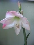 hippeastrum, zwartnica, amarylis, rośliny cebulowe, rośliny pokojowe, rośliny doniczkowe