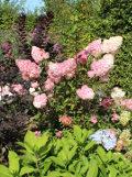 Ogrodnik-amator, opis rośliny, Hortensja bukietowa, Hydrangea paniculata, uprawa hortensji bukietowej, opis hortensji bukietowej, hortensja kwiat
