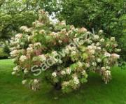 krzewy ogrodowe, ozdobne hortensja dębolistna