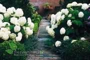 krzewy ogrodowe, ozdobne hortensja krzewiasta Anabelle