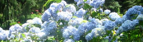 Ogrody, hortensje, wodne krzewy, odmiany hortensji