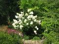 Hortensja bukietowa, krzew białe kwiaty, hortensje bukietowe, dodatki ogrodowe, urządzanie  ogrodu , zdjęcia ogrodów, dodatki  ogrodowe, galeria ogrodowa, ogród ozdobny