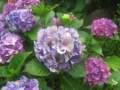 Ogrodnik-amator, opis rośliny, Hortensja ogrodowa, Hydrangea macrophylla, Bigleaf Hydrangea, French Hydrangea, uprawa hortensji ogrodowej, opis hortensji ogrodowej, hortensja kwiat