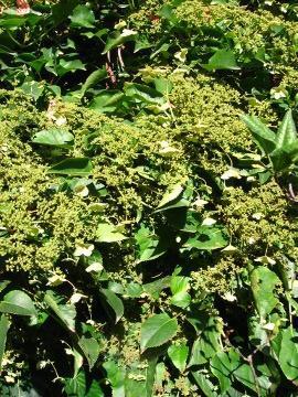 hortensja pnąca, uprawa hortensji pnącej, kwitnąca hortensja, rośliny letnie, krzewy