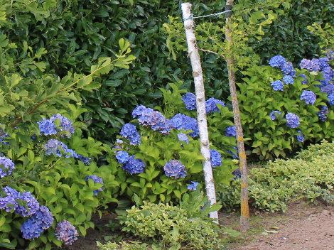 ogród angielski, ogrody ogrody , żywoplot z niebieskich hortensji,  urządzanie ogrodu, aranżacje z roślin