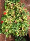 Hutujnia sercowata, tułacz pstry, zdjęcia roślin