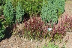 imperata cylindryczna red baron, trawa ozdobna ogrodowa, efektowne kolory traw