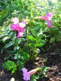 Ogrodnik-amator, opis rośliny, Inkarwilla Delavaya,  Incarvillea delavayi, Hardy gloxinia, uprawa inkarwilli, kwiaty wieloletnie, gloksynia gruntowa, byliny, kwiaty na miejsca wilgotne, rośliny o ozdobnych liściach, kwiaty ogrodowe, kwiaty początku lata, kwiaty letnie, kwiat