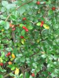 Ogrodnik-amator, opis rośliny, Irga pozioma, Cotoneaster horizontalis, uprawa irgi poziomej,  Krzewy łatwe w uprawie, krzewy trudniejsze w uprawie, krzew półzimozielony, kalendarz kwitnienia krzewów, galeria krzewów, rośliny na jesien, rośliny na zimę, cięcie krzewów, ozdobne pędy, owoce, krzewy o ozdobnych owocach, rośliny na skarpy, rośliny na murki, krzewy zadarniajace