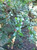 Ogrodnik-amator, opis rośliny, Irga zwyczajna, Cotoneaster integerrimus, Common Cotoneaster,, uprawa irgi zwyczajnej,  Krzewy łatwe w uprawie, krzewy trudniejsze w uprawie, kalendarz kwitnienia krzewów, galeria krzewów, rośliny na jesien, rośliny do jesiennego ogrodu