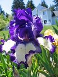 irysy bródkowe, kosaciec bródkowy,  ogród ozdobny , rośliny cebulowe i bulwiaste, roślin narabaty różnokolorowe kwiaty
