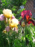 Ogrody, zdjęcia irysow bródkowych, kosaciec bródkowy w ogrodzie