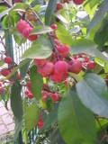 jabłoń purpurowa, ozdobne owoce, małe drzewo