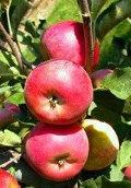 Ogrodnik-amator, opis rośliny, Jabłoń domowa, Malus domestica, uprawa derenia jadalnego, pielęgnacja, jabłonie domowe, drzewa owocowe, drzewa jabłkowe, o czerwonych owocach, o żółtych owocach, o zielonych owocach, ogród owocowy, drzewa i krzewy owocowe, rośliny użytkowe, rośliny owocujące, rośliny wytrzymałe, drzewa na różne gleby, drzewa lisciaste, galeria drzew