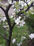 ogród użytkowy, owoce, warzywa zioła, jabłoń domowa