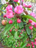 ogr�d ozdobny , drzewa ozdobne, ro�liny ogrodowe, ogrody jab�o� ozdobna, purpurowa, drzewo kwitn�ce w maju