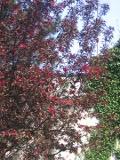 drzewa liściaste trudniejsze w uprawie, drzewa do ogrodu, ogrodowe drzewe,  dekoracyjne drzewa, jabłoń purpurowa