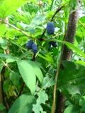 krzewy Liściaste JAGODA KAMCZACKA