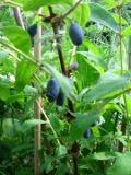 Ogrody, zdjęcia jagody kamczackiej, uprawa jagody kamczackiej, pielęgnacja jagoda kamczacka