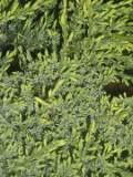 jałowiec łuskowaty, galeria roślin, zdjęcia roślin ogrodowych