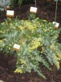 jałowiec nadbrzeżny, galeria roślin, zdjęcia roślin ogrodowych