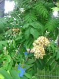 Ogrodnik-amator, opis rośliny, Jarząb pospolity, jarzębina, Sorbus aucuparia, Mountain Ash, Rowan, uprawa jarzębiny, opis rośliny, drzewa łatwe w uprawie, drzewa liściaste, drzewa ozdobne, galeria drzew, rośliny na jesień, drzewa do jesiennego ogrodu,  drzewa o dekoracyjnych liściach, drzewa o dekoracyjnych owocach