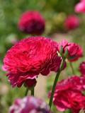 Ogrodnik-amator, opis rośliny, Jaskier azjatycki, Ranunculus asiaticus, Persian buttercup, uprawa jaskrów azjatyckich, opis rośliny,  kwiaty wieloletnie, kwiaty o jaskrawych barwach, rośliny cebulowe, rośliny bulwiaste