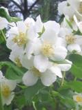 Ogrodnik-amator, opis rośliny, Jaśminowiec wonny, Philadelphus coronarius, Mock orange uprawa jaśminowca wonnego, jaśminowce wonne,  krzew liściasty,  krzewy kwitnące na początku lata, krzewy o białych kwiatach, krzewy o kremowych kwiatach, krzewy pachnące