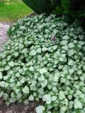 jasnota plamista, zdjęcia rośliny