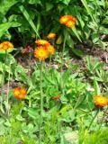 jastrzębiec pomarańczowy , zdjęcia rośliny