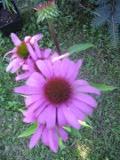 Ogrody, zdjęcia jeżówka purpurowa, jeżówki w ogrodzie