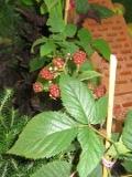 jeżyna, zdjęcia rośliny