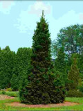Ogrodnik-amator, opis rośliny, Jodła pospolita, Abies alba, Silver Fir, uprawa jodły pospolitej, opis rośliny, drzewa dość łatwe w uprawie, drzewa iglaste