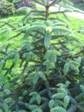 jodła hiszpańska, zdjęcia rośliny, rośliny na literę j, galeria roślin
