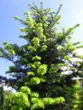 Ogrody, zdjęcia jodła kalifornijska, jodły kalifornijskie w ogrodzie