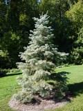 Ogrodnik-amator, opis rośliny, odła kalifornijska, Abies concolor, White Fir, uprawa jodły kalifornijskiej, opis rośliny, drzewa łatwe w uprawie, drzewa iglaste, galeria drzew, rośliny na zimę, duże drzewa, drzewa o dekoracyjnych szyszkach, drzewa o zielonych igłach, drzewa wiecznie zielone