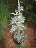 jodła szlachetna glauca, zdjęcia rośliny, rośliny na literę j, galeria roślin