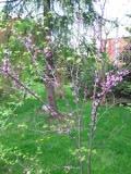 judaszowiec, zdjęcia rośliny, rośliny na literę j, galeria roślin