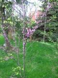 drzewa liściaste do małego ogrodu, drzewa do ogrodu, ogrodowe drzewe,  dekoracyjne drzewa