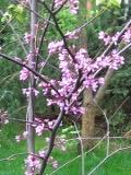 drzewa liściaste jUDASZOWIEC