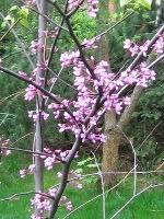 ro�liny drzewa , judaszowiec