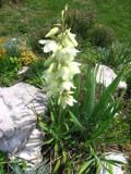 Ogrodnik-amator, opis rośliny, Jukka ogrodowa, Yucca Filamentosa, Adams needle, uprawa jukki ogrodowej, kwiaty wieloletnie, byliny, kwiaty na miejsca słoneczne, rośliny o ozdobnych liściach, kwiaty ogrodowe