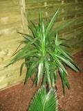 rośliny pokojowe , jukka gwatemalska