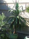 Ogrodnik-amator, opis rośliny, Jukka gwatemalska, Yucca elephantipes, Spineless Yucca, juka gwatemalska, uprawa jukki gwatemalskiej, roślina pokojowa, roślina doniczkowa, drzewa i krzewy ozdobne z liści