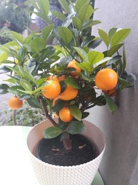 Kalamondyna, miniaturowa pomarańcza